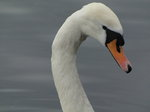 SX02813 Close up of swans head - Mute Swan [Cygnus Olor].jpg